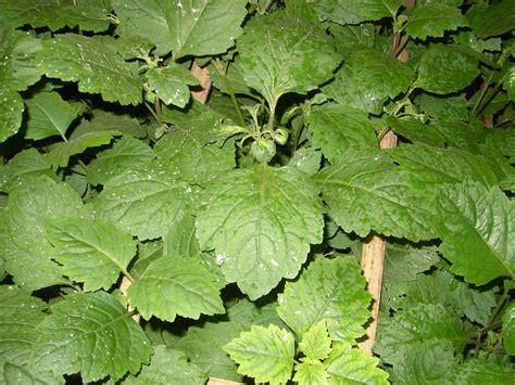 Minyak Nilam Di Eropa 15 manfaat dan khasiat daun nilam untuk kesehatan khasiat