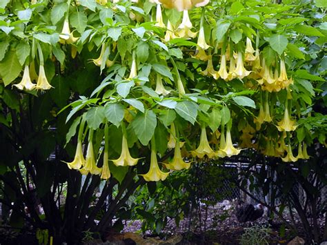angel trumpet plants plantanswers plant answers gt s trumpet