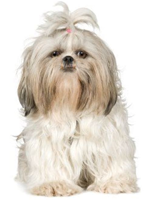 shih tzu breed characteristics the shih tzu temperament personality