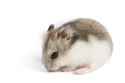 hamster breeds types of hamsters hamster breeds and animal