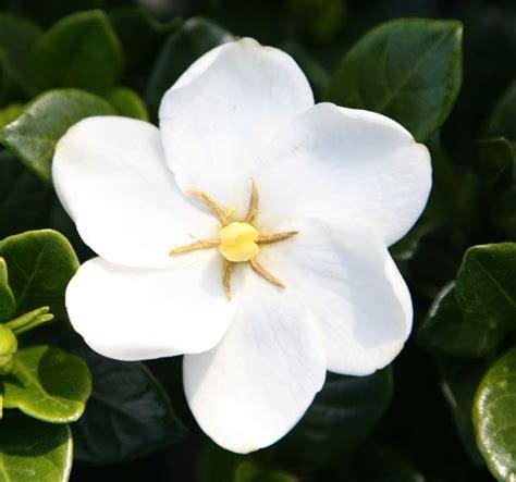 gardenia delivery gardenia jasminoides kleim s hardy belvoir rd