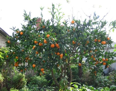 green thumb backyard fruit trees
