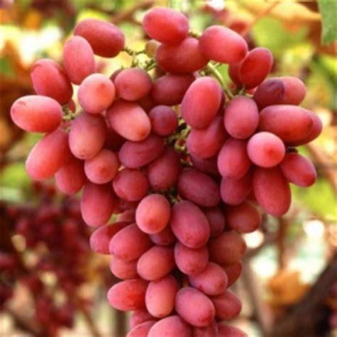 uva da tavola pugliese uva da tavola a roma soprattutto l apirena rosata uci
