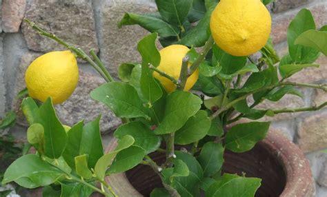 coltivare agrumi in vaso come coltivare gli agrumi in vaso leitv