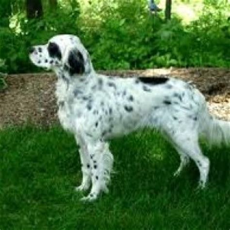 llewellin setter dog size llewellin setter puppies for sale