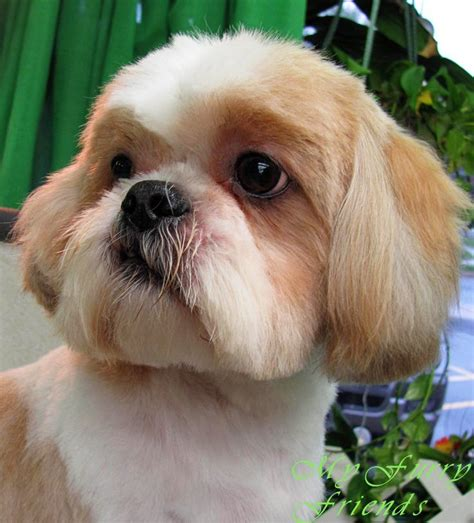 shih tzu after grooming shitzu grooming pet grooming the the bad the