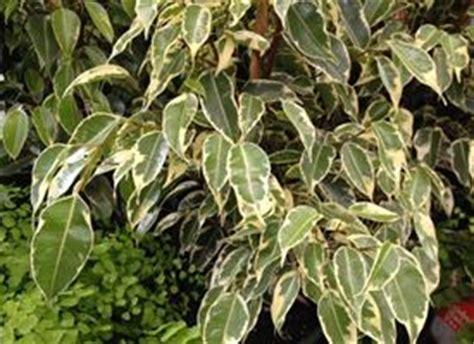 Ficus Benjamin Come Curarlo by Ficus Come Curarlo