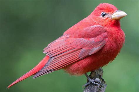 summer tanager piranga rubra red birds