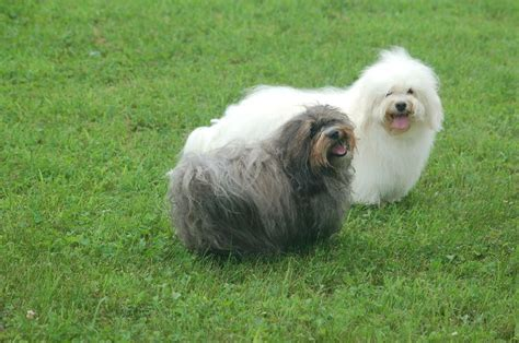 gray havanese 59 best images about havanese on dogs home and gray