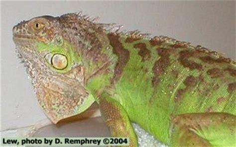 can iguanas change color color changes
