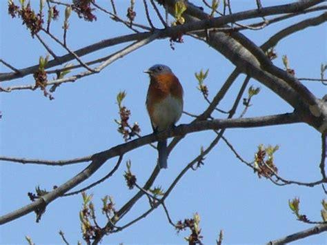 eastern bluebird in wisconsin