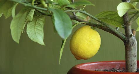 limoni in vaso come coltivare i limoni in vaso non sprecare