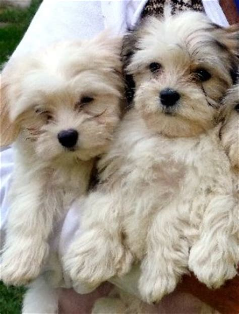 havanese origin havanese breed information history health pictures and more breeds picture