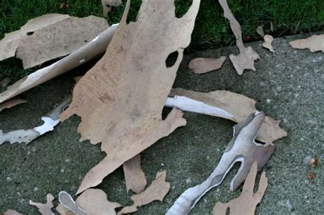 Why Do Trees Shed Bark by Alf Img Showing Gt Trees That Shed Bark California