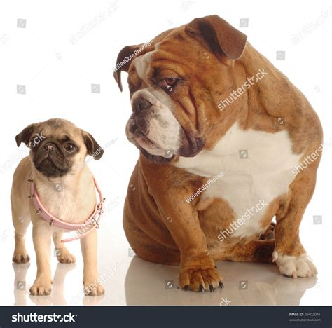 how big do pugs get bulldog annoyed with pug puppy that is wearing collar that is big stock