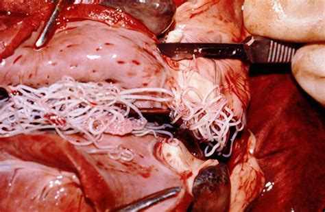 are heartworms in dogs contagious heartworm disease stilwell positively