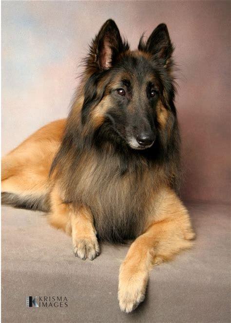 tervuren puppy tervuren belgian shepherd sheepdog dogs puppy pets
