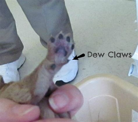 dew claw removal growing puppies virginia schnoodle breeder hypoallergenic dogs dew claws removed