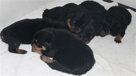 rottweiler for sale washington state german rottweiler puppies for sale in washington king rottweilers