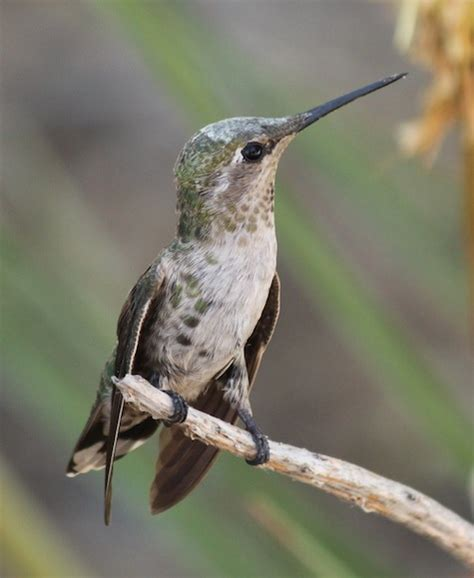bird talk the anna s hummingbird east county magazine