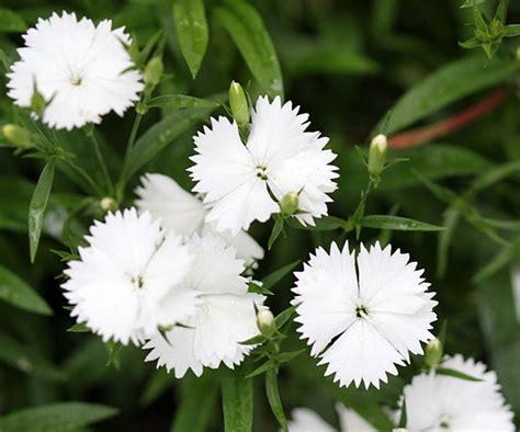 Bibit Biji Bunga Dianthus Baby Doll Import tanaman white baby doll jual tanaman hias