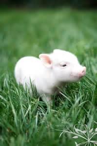 baby pot belly pig barn yard friends pinterest