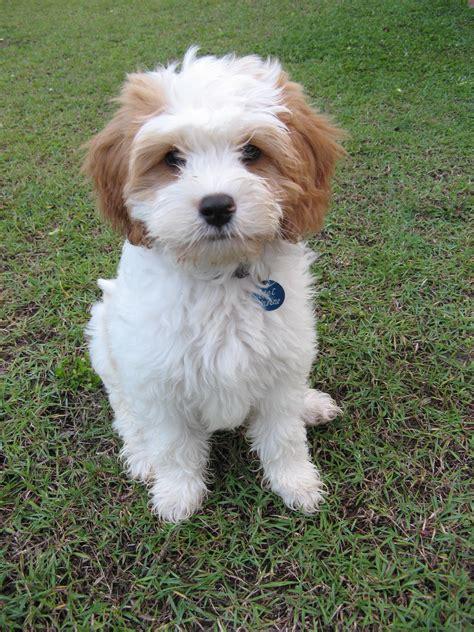 mini doodle cavapoo cavoodle cavapoo poodle hybrid poodle mix oodle