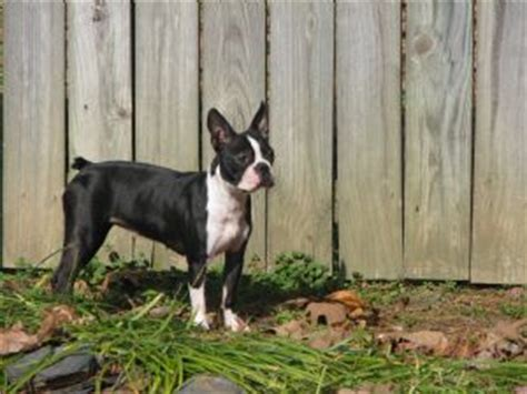 boston terrier puppies for sale in arkansas boston terrier puppies in arkansas