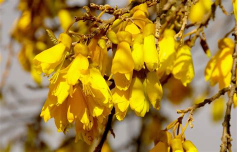 meaning of trees image gallery kowhai
