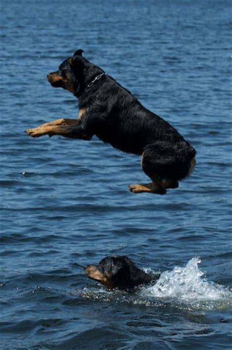 my rottweiler has bad gas esmond rottweilers rottweiler breeder ontario canada rottweiler puppies