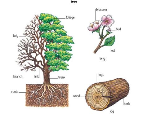 define tree root 1 noun definition pictures pronunciation and