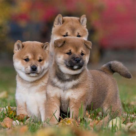puppies ta shiba inu puppies ta puppy