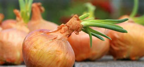 A Partir De Quand Planter Les échalotes by Plantation Echalotte Femmes Planter Chalote Onions
