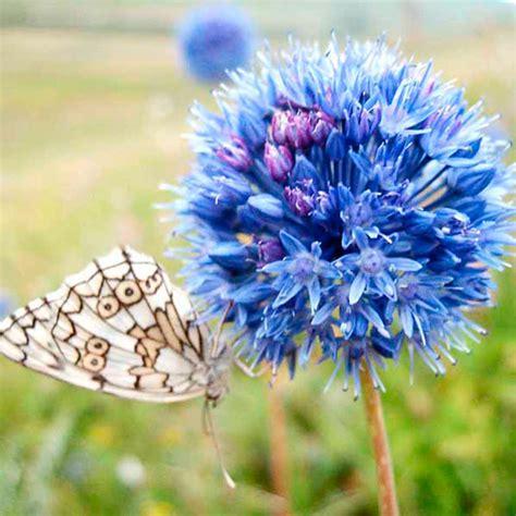 blue flower bulbs allium bulbs blue drumstick dobies