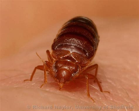 other bugs mistaken for bed bugs bed bugs mistaken identity ibbra