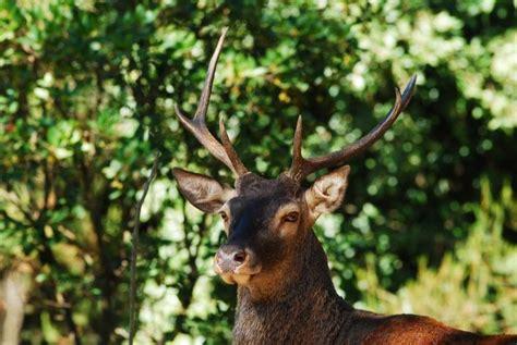 popolare di sardegna i cervi tornano a popolare sardegna e corsica repubblica it