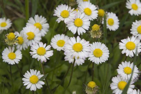 foto fiori primaverili alcuni fiori primaverili un p 242 di piante forum di