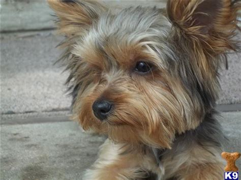picture of one year old yorkie with puppy cut yorkshire terrier puppy for sale 6 month old yorkie 8