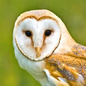 Barn Owl Beak English Barn Owl Head
