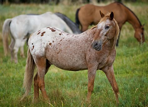 roan strawberry roan paint at cheley by hahn23 dpchallenge beautiful horses