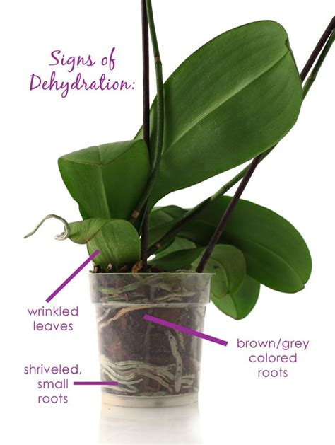 200 best orchid care images on pinterest caring for orchids orchid care and lilies