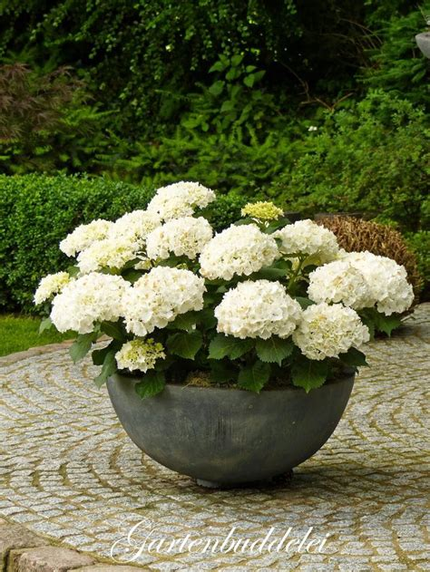 White Garden Pots Hydrangeas In Container Great For A Show Then Plant