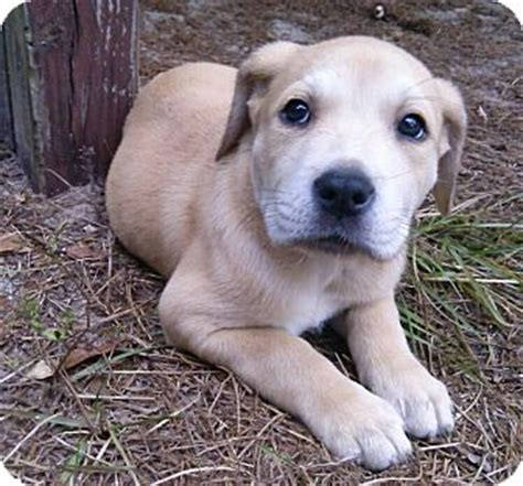 bulldog and golden retriever mix bullador bulldoglabrador retriever breeds picture