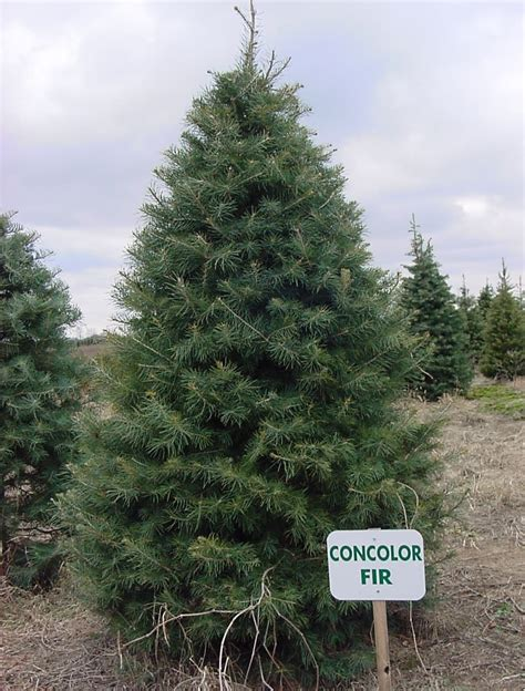 28 best fast growing christmas trees help i ve fallen
