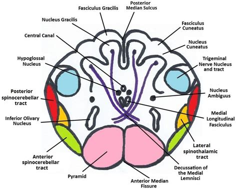 section definition anatomy image gallery medulla structure