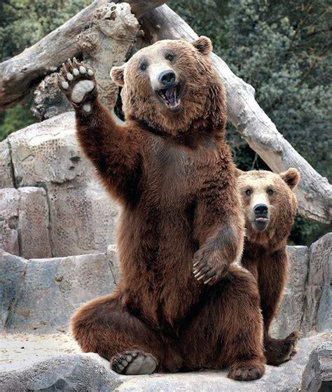 imagenes de animales zoo m 225 s de 25 ideas incre 237 bles sobre osos pardos en pinterest