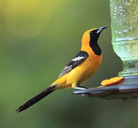 backyard bird identification orioles related keywords