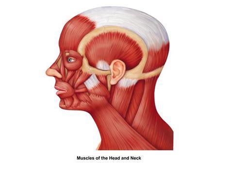 Frontalis Origin: galea aponeurotica Insertion: skin of t... Frontalis Muscle Origin Insertion Action