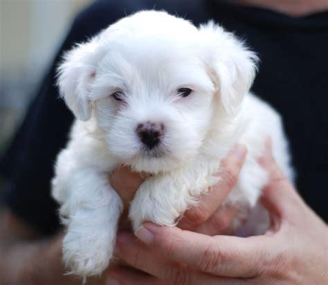 puppy maltese dogs maltese dogs