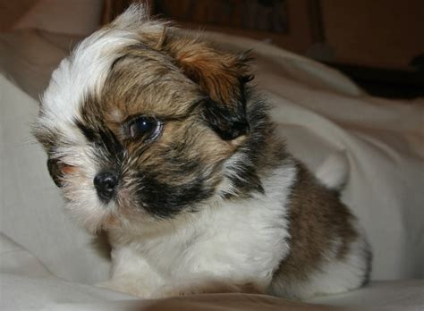 puppy care 6 weeks 6 weeks shih tzu common information and pictures